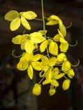 Fiore dorato della doccia Fotografia Stock Libera da Diritti