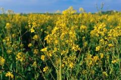 Fiore dorato di fioritura della violenza Immagini Stock