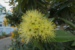 Fiore dorato di penda Fotografia Stock Libera da Diritti
