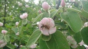 Fiore e ape di cydonia oblonga Immagine Stock