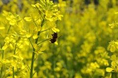 Fiore e ape gialli Immagini Stock Libere da Diritti