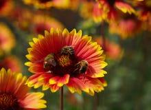 Fiore e bees2 Immagine Stock Libera da Diritti
