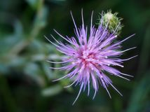 Fiore e Bud Overhead View diffusi della centaurea Fotografia Stock