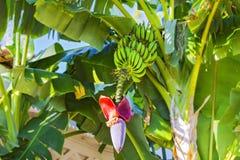 Fiore e casco di banane della banana Fiore rosso della banana su un banano Banano con frutta ed il fiore Immagine Stock Libera da Diritti