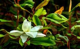 Fiore e cavalletta della magnolia Fotografia Stock Libera da Diritti
