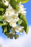 fiore e cielo dell'Apple-albero fotografie stock libere da diritti