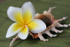 Fiore e coperture di Plumeria Fotografie Stock