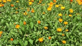 Fiore e fiore di vimini del tagete del piatto nel giardino di estate 4K video d archivio