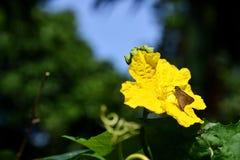 Fiore e farfalla di Luffa Fotografia Stock Libera da Diritti