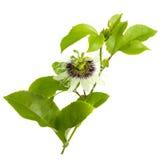 Fiore e fogli della passiflora commestibile isolati su bianco Fotografie Stock Libere da Diritti