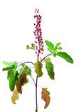 Fiore e fogli di tulasi del basilico immagine stock