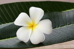 Fiore e foglia bianchi del frangipane Immagine Stock