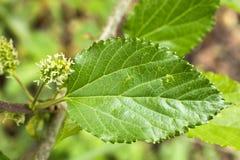 Fiore e foglia del gelso Immagini Stock