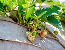 Fiore e foglia della frutta della fragola Fotografia Stock