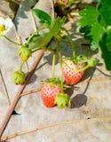 Fiore e foglia della frutta della fragola Immagine Stock