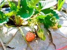 Fiore e foglia della frutta della fragola Fotografie Stock