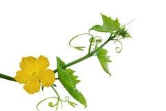 Fiore e foglia della luffa Fotografia Stock Libera da Diritti