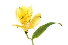 Fiore e foglia di Alstroemeria Immagini Stock Libere da Diritti