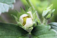 Fiore e fogliame della fragola fotografia stock