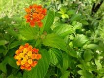 Fiore e foglie Immagine Stock