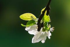 Fiore e foglie bianchi della mela Fotografie Stock Libere da Diritti