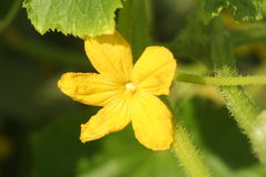 Fiore e foglie del cetriolo fotografie stock libere da diritti