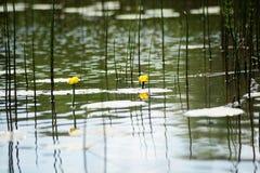 Fiore e foglie del lutea giallo del Nuphar della ninfea Nel lago fotografia stock