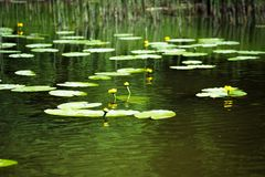 Fiore e foglie del lutea giallo del Nuphar della ninfea Nel lago immagini stock