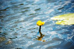 Fiore e foglie del lutea giallo del Nuphar della ninfea Nel lago fotografia stock libera da diritti