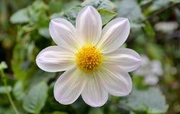 Fiore e foglie della dalia Immagini Stock Libere da Diritti