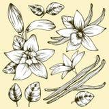 Fiore e foglie della vaniglia di vettore del disegno della mano illustrazione vettoriale