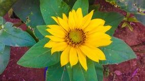 Fiore e foglie di Orenge della margherita africana immagini stock libere da diritti