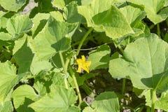 Fiore e foglie verdi del cetriolo Immagine Stock Libera da Diritti
