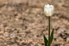 Fiore e foglie verdi del tulipano Immagini Stock Libere da Diritti