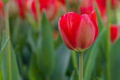 Fiore e foglie verdi del tulipano Fotografia Stock Libera da Diritti
