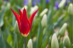 Fiore e foglie verdi del tulipano Bei tulipani Fotografia Stock