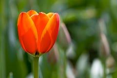 Fiore e foglie verdi del tulipano Bei tulipani Immagini Stock Libere da Diritti