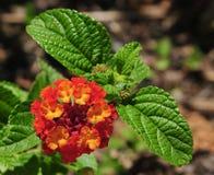Fiore e foglie verdi rossi ed arancio della lantana Fotografie Stock Libere da Diritti