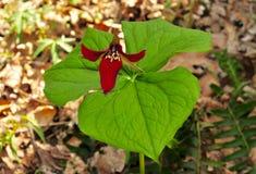 Fiore e foglie verdi rossi vibranti di un trillium del pettirosso di risveglio in una foresta della molla Fotografie Stock