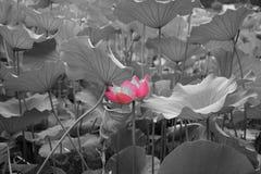 Fiore e foglio di loto Fotografia Stock