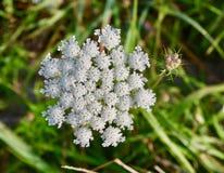 Fiore e germogli bianchi del pizzo del ` s della regina Anne Immagini Stock Libere da Diritti