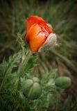 Fiore e germogli del papavero Immagine Stock