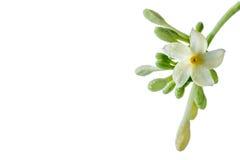 Fiore e germogli della papaia su fondo bianco Immagine Stock Libera da Diritti