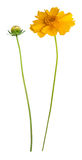 Fiore e germoglio del margherita-gerbera giallo Fotografia Stock Libera da Diritti
