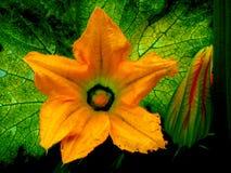 Fiore e germoglio della zucca Fotografie Stock
