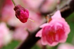 Mei Flower e germoglio Fotografia Stock