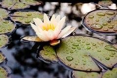 Fiore e gocce di pioggia di Lotus Immagine Stock