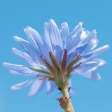 Fiore e insetti blu della cicoria Fotografie Stock Libere da Diritti