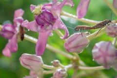 Fiore e insetto rosso del cottoc Fotografia Stock Libera da Diritti