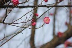 Fiore e lampadina della prugna che escono nella molla in anticipo Fotografia Stock Libera da Diritti